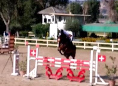 Cavallo italiano baio del 2011 (cav.173)
