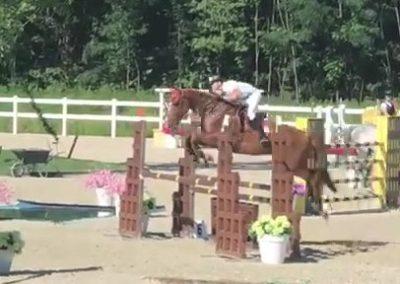 cavallo sauro olandese del 2008 (cav.200)