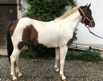 Pony pezzato italiano del 2017 ( Cav.278)